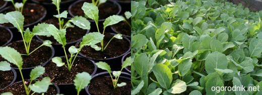 Как правильно вырастить рассаду капусты