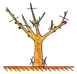 Схема обрезки куста древовидного пиона