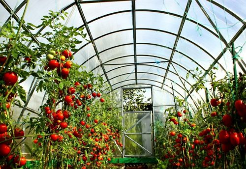 Теплица с помидорами