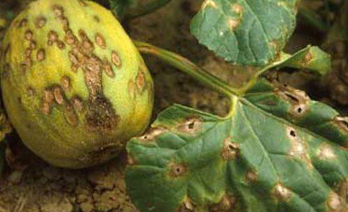 Антракноз тыквы
