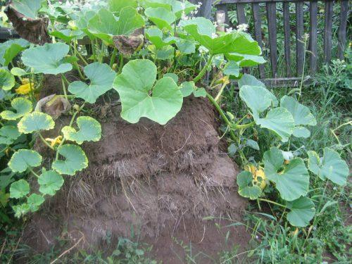 Кабачки на компосте
