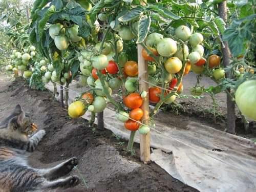 Кусты сорта в огороде