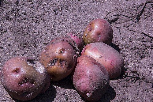 Парша картофеля возбудитель