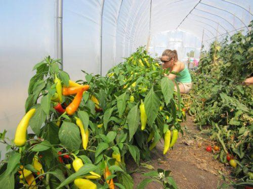 Почва для перцев в теплице