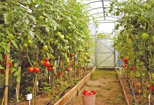 Теплица для томатов