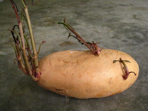 Прогревание картофеля