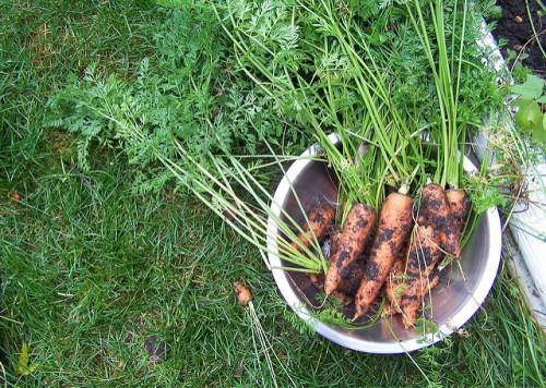 Собранная морковь