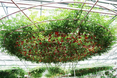 Дерево томатов Спрут