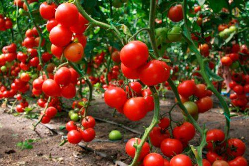 Высокоурожайные сорта томатов