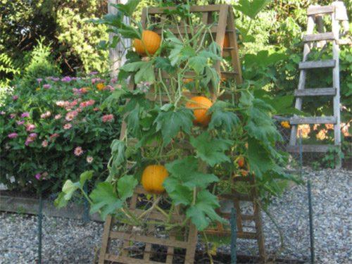 Выращивание на шпалере
