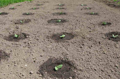 Посадка тыквы в землю