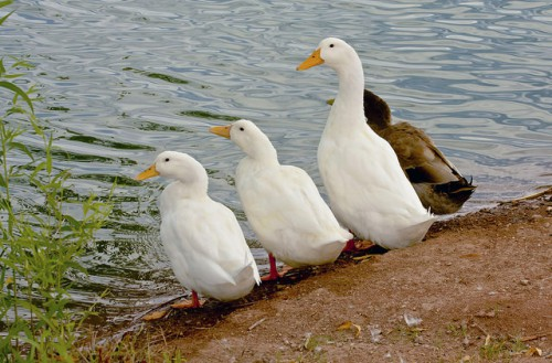 Утки на берегу реки