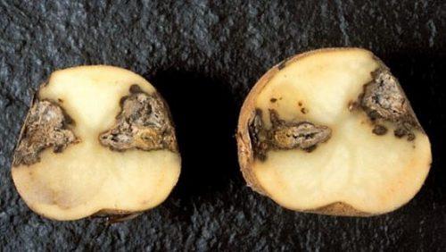 Зараженный клубень картофеля