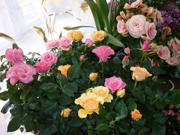 Домашние розы