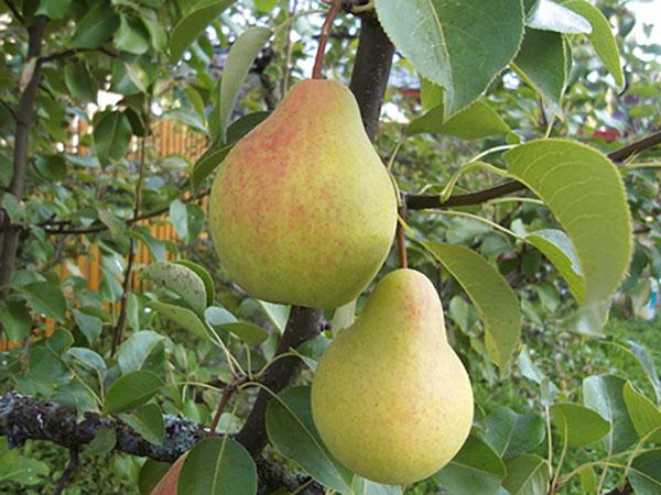 Лучшие сорта груш для посадки в саду и на даче с названиями и фото