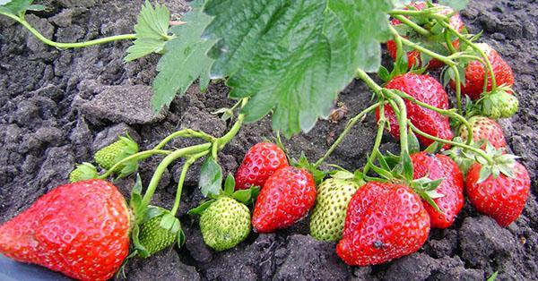 Сорта клубники для сада: названия и описания с фото