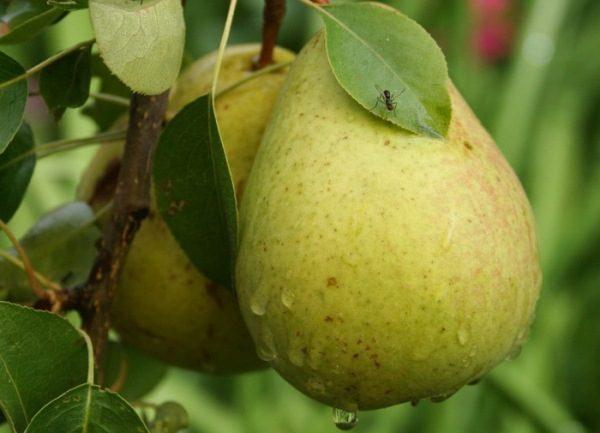 Груша Бессемянка относится к высокоурожайным сортам