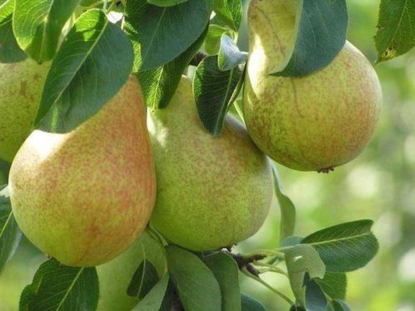 Сорт Гера славится крупными плодами
