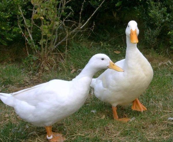 Благоварская утка не прихотлива в еде