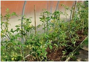 Рассаду помидоров нужно высаживать после заморозков