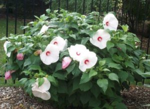 Черенковать садовый гибискус нужно до цветения