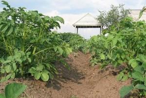 Чем подкормить картофель перед цветением
