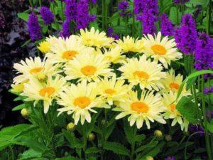 Есть сорта нивяника, цветущие желтым цветом