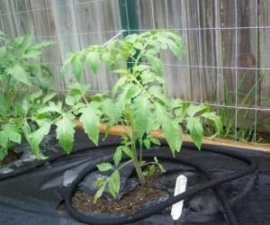 Мульчирование помидоров черной пленкой