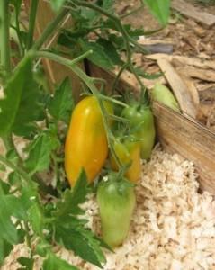 Мульчирование помидоров опилками