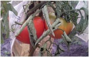 Листья у помидор скручиваются из за раннего прищипывания