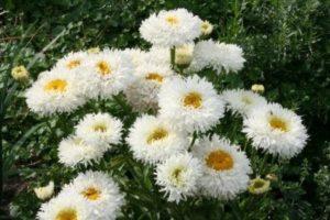 Ромашки гибридной селекции сорта с махровыми соцветиями