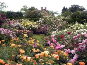 Розы у садоводов пользуются традиционным успехом