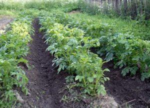 Загущать посадки картофеля нельзя – каждому кустику требуется своя порция света
