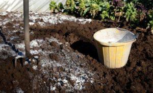 Золу применяют для обработки молодых растений и рассады