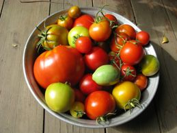 Дозаривание помидор дома