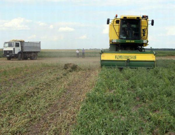 Уборка гороха в Беларуси