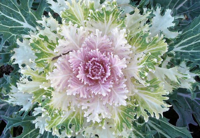 Выращивание декоративной капусты