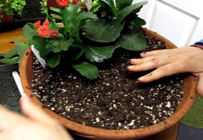 Пересадка одиночного каланхоэ и нескольких растений