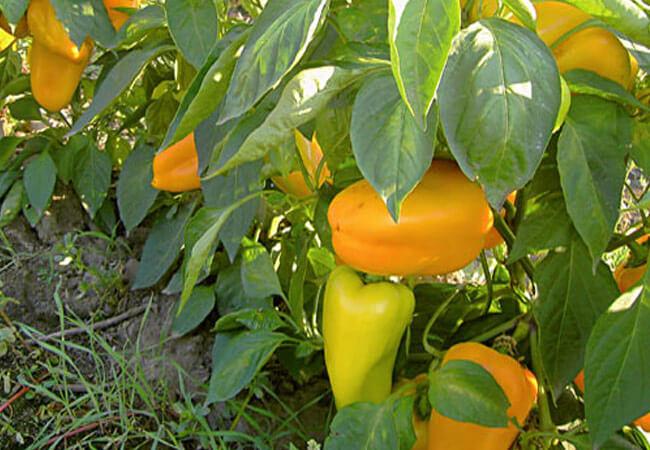 Как лечить перец при кладоспориозе