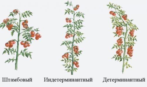 Типы томатных кустов