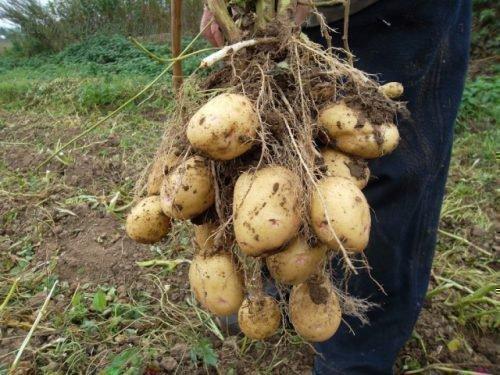 Урожайность с куста Импалы
