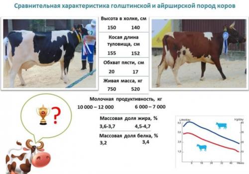 Сравнительные характеристики коров айширской и голштинской пород