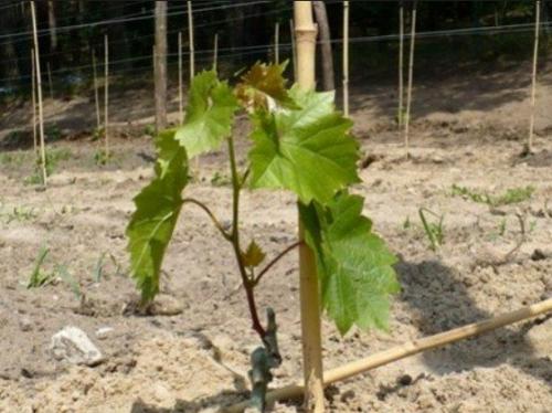 Молодой саженец винограда