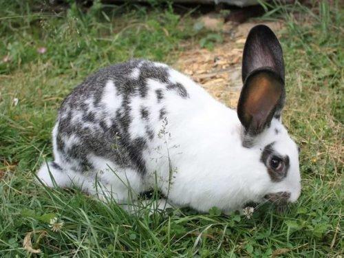 бабочка кролик