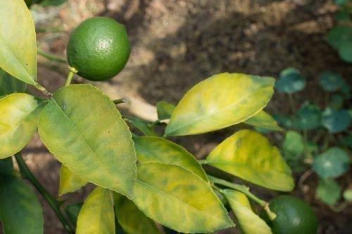 Бледные листья лимона