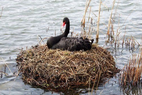 Черный лебедь в гнезде