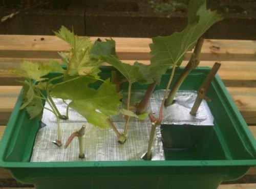 Проращивание зеленых черенков