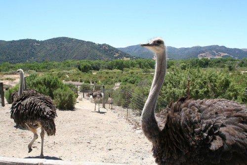 Ферма страусов
