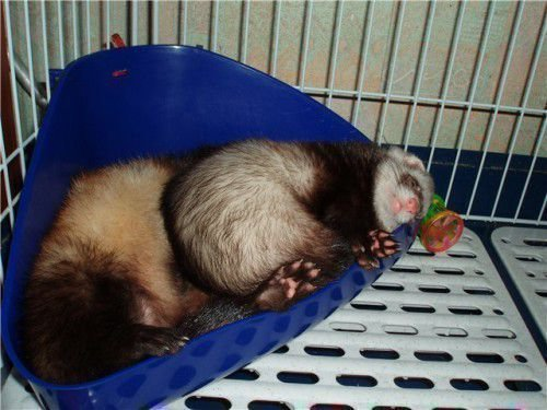 Хорек спит в лотке