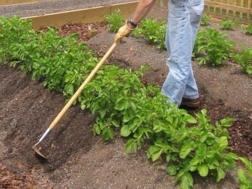 картофель окучивание